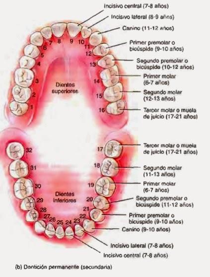 Clinica dental Cristina Martinez | Dientes: tipología, funciones y ...